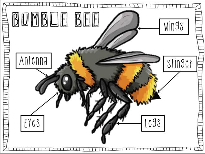 Description: MacBookAir:Users:henrik:Documents:bumble bee anatomy.png