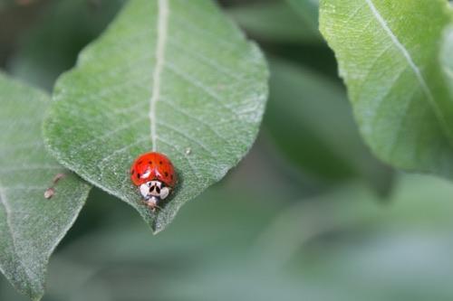 Description: MacBookAir:Users:henrik:Documents:ladybug.jpg